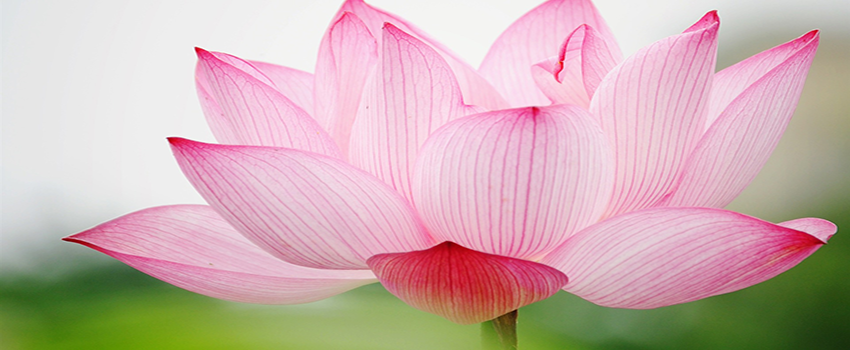 lotus-flower-images-and-wallpapers-26